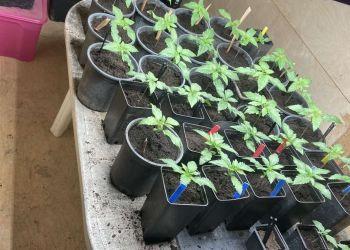 Καλλιεργούσε 38 δενδρύλλια χασίς ΣΕ ΑΠΟΘΗΚΗ ΣΤΟ ΣΠΙΤΙ ΤΟΥ