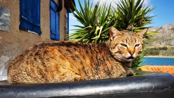 Οι Γάτες Μπορούν Να Κολλήσουν Κορονοϊό Από Τους Ανθρώπους