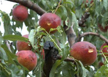 Ολική Καταστροφή Αγροτικής Παραγωγής Φρούτων Στην Κεντρική Μακεδονία