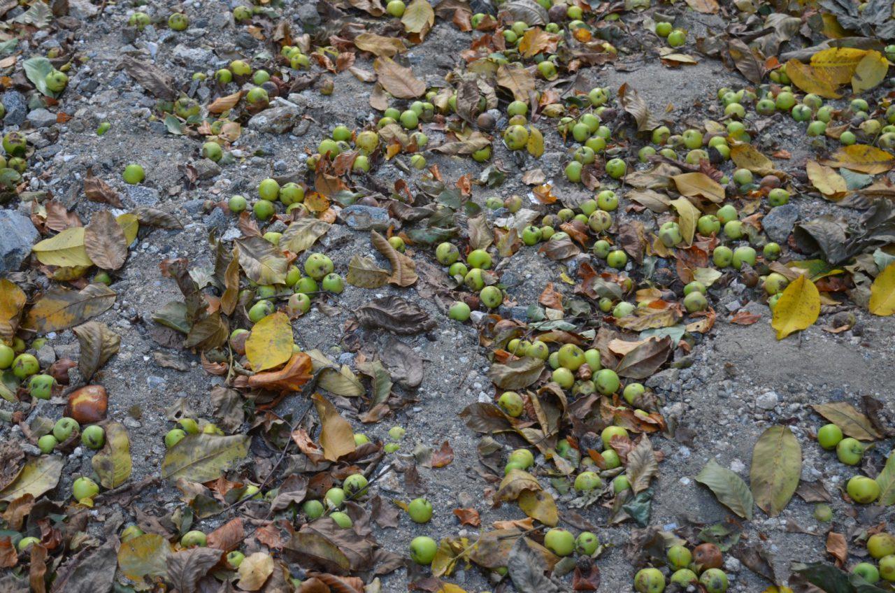 Εκατοντάδες Τοπικές, Παραδοσιακές Ποικιλίες Οπωροφόρων Δέντρων