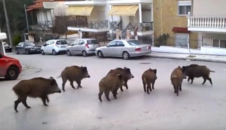 ΙΣΤΟΡΙΕΣ ΚΑΡΑΝΤΙΝΑΣ – ήρθαν τα άγρια να διώξουν τα ήμερα