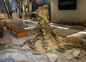 Πρωτοπευκίδες, Κανελόδενδρα, Δαφνίδες, Λεύκες , Τα Νέα Ευρήματα, Στο Μουσείο Φυσικής Ιστορίας Απολιθωμένου Δάσους