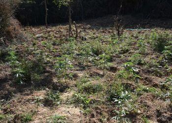 Εντοπισμός Φυτείας Σε Δασώδη Περιοχή Στο Κιλκίς Με Περισσότερα Από 1.100 Δενδρύλλια Κάνναβης