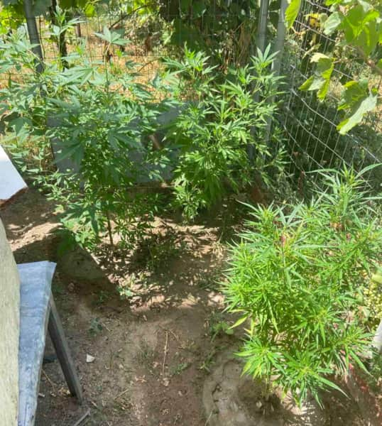 Καλλιεργούσε κάνναβη σε περιοχή της Πιερίας