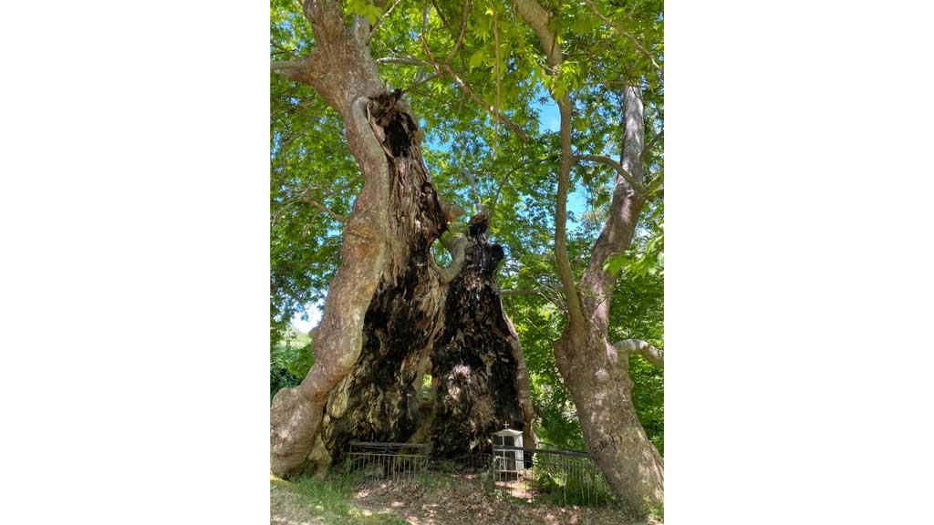 Το «Πλατάνι της Μπάρας» στον Κολινδρό στην επιτροπή Προστασίας Περιβάλλοντος