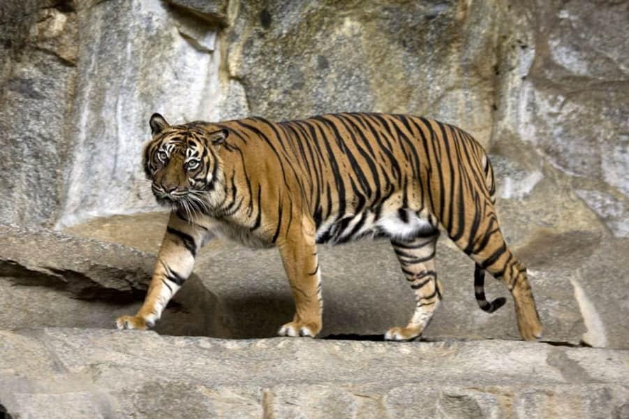 Δύο τίγρεις της Σουμάτρας προσβλήθηκαν από κορονοϊό σε ζωολογικό κήπο