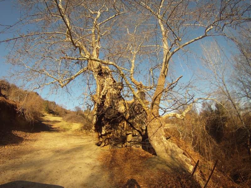 To αιώνιο Πλατάνι της Μπάρας στον Κολινδρό είναι 1015 ετών