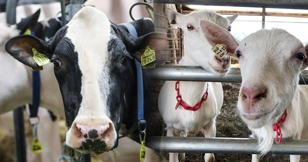 Αέρια Θερμοκηπίου: 20 κτηνοτροφικές εταιρείες ρυπαίνουν περισσότερο από Γαλλία, Γερμανία, Βρετανία