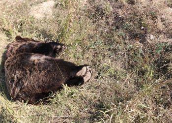 Νεκρή αρκούδα από πυροβολισμό